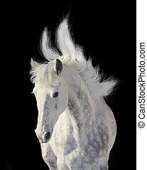 dapple gray stallion on black