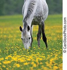 dapple grijs, grazen, paarde
