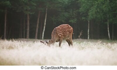 Dappled deer grazing on the edge of the forest early in the...