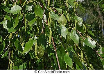 Darg feuille vert bouleau feuille moscou park vert - Feuille de bouleau photo ...