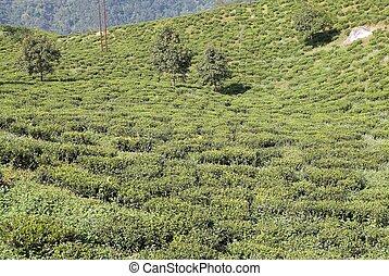 Darjeeling, té,  India, bengala, oeste, plantación