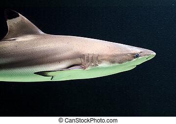 Dark blacktip reef shark