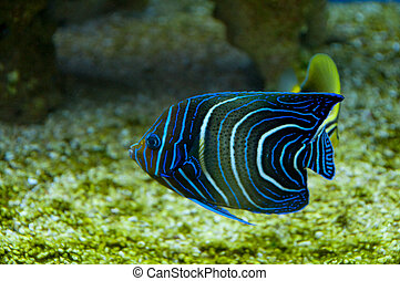 Coral fish - Dark Blue Coral fish with light blue circles