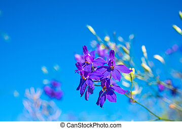dark-blue flowers on the clear blue sky, closeup