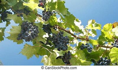 Dark Blue Grapes On The Vine