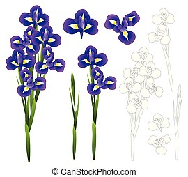 Dark Blue Purple Iris Flower. Vector Illustration.