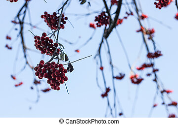 Dark branches of red mountain ash with berries