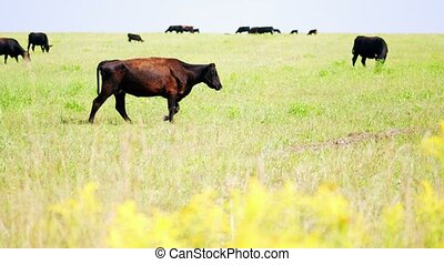Dark brown cow eating grass. Bio organic farm. Close up. Slow motion.