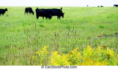 Dark brown cows eating grass. Bio organic farm. Slow motion.
