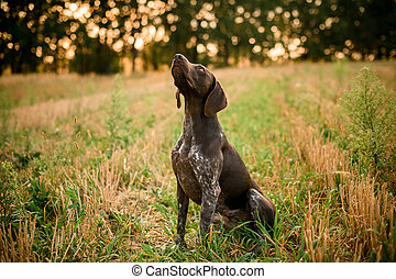 Dark brown dog looking up in the field