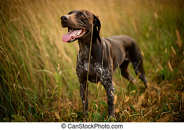 Dark brown dog looking up sticking out his tongue in the golden field