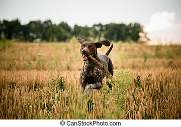 Dark brown dog running through the field with a stick in his teeth