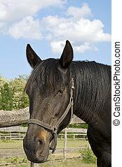 Dark brown horse on the farm portrait