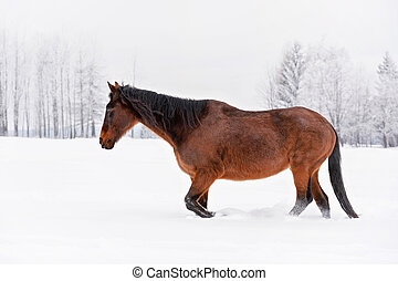 Dark brown horse walks on snow covered field in winter, blurred trees background