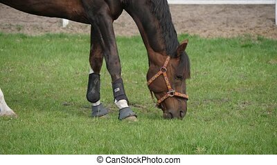 Dark brown mare with the bandage on legs eating lush grass...