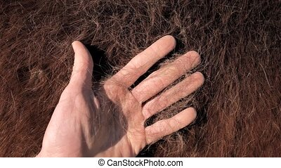 Dark brown purebred molting winter fur. The horse's side and neck lose long winter hairs and is accompanied by a general change in the horse's body. Farmer hand brushing body.