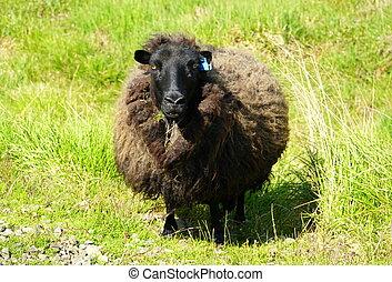 Dark brown sheep on a grass field in Iceland