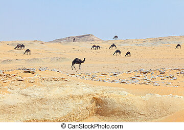 Dark camels in Qatar desert
