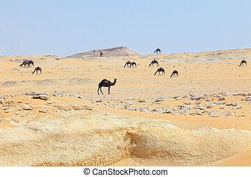 Dark camels in Qatar desert