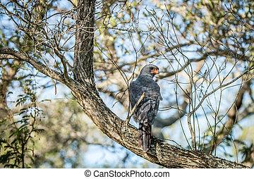 Dark chanting goshawk sitting on a branch.