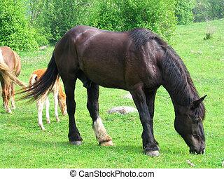 Dark Chocolate horse grazing in the field