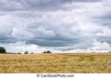 Dark clouds over a field of wheat grain