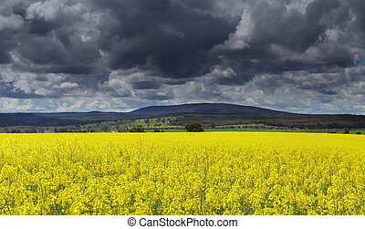 Dark clouds over Canola fields