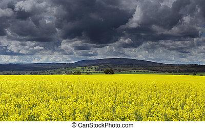 Dark clouds over Canola fields