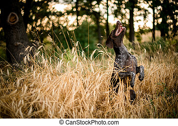 Dark color brown dog sitting on the hind legs in the golden field