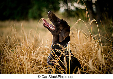 Dark color dog looking up sticking out his tongue in the field