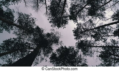 Dark Creepy Forest. Bottom view of tree trunks and branches against a cloudy sky. Ominous pine forest. The wind sways crowns of branches of treetops. Conifer trees in impending storm. Ghost wood.