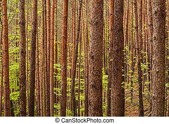 dense pine forest