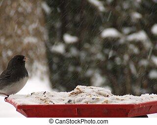 Dark-eyed Junco, adult male, slate-colored in a bird feeder