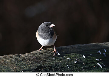 Dark-eyed Junco Bird in winter at BC Canada