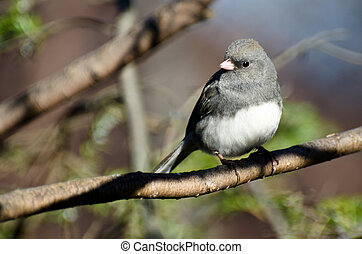Dark Eyed Junco Perched in a Tree