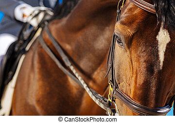 Beautiful dark-eyed racehorse looking a little bit tired -...