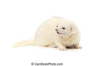 Dark eyed white ferret on reflective white background