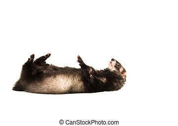 Dark ferret lying on its back on a white background