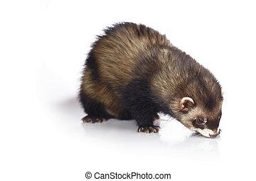 Dark ferret on reflective white background