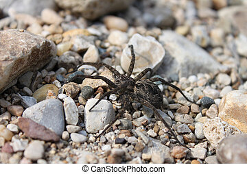 Dark Fishing Spider (Dolomedes tenebrosus) - A Dark Fishing...