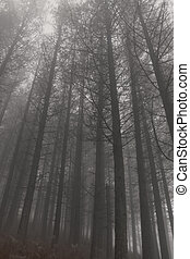 Dark foggy pinewood - Mysterious foggy pinewood. Northern ...