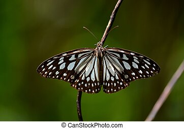Dark glassy tiger butterfly - A black and white winger...