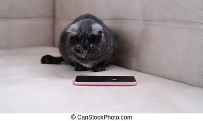 Dark gray cat watching the game for cats on phone - Dark...
