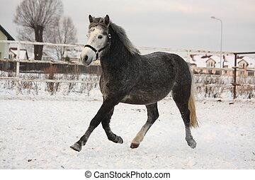 Dark gray pony trotting in the snow in paddock