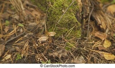 Dark green moss, dry leaves and needles, red pine mushroom among them.