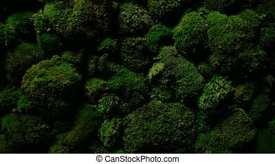 Dark green moss grows on the stones - In the dark moss is...