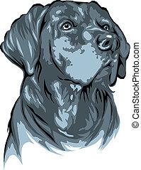 dark labrador dog isolated on white background