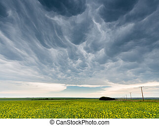 Dark mammatus storm clouds over a canola field