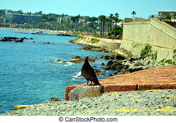 dark pigeon on a wall at azure blue sea