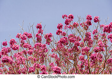Dark pink flowers on the tree against blue sky background.